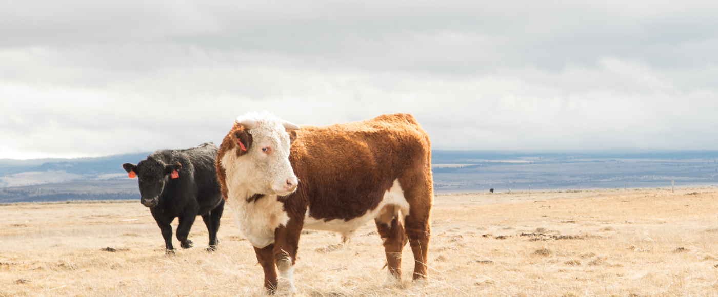 Handsome Cows
